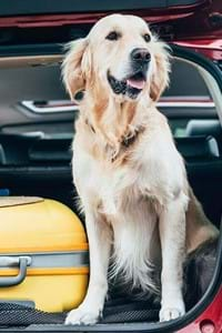 golden retriever dog panting in open car