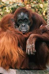 orangutan looking at the camera at jersey zoo in jersey channel islands