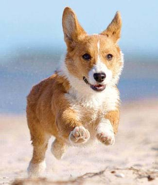 golden orange dog running and jumping over white sand