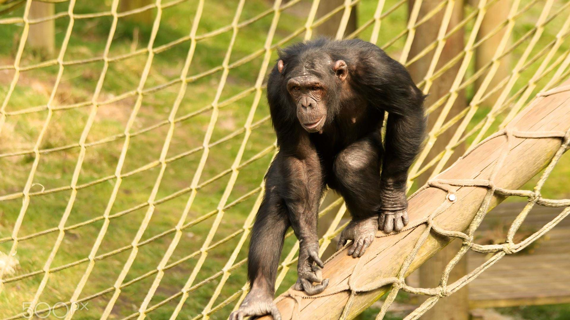 a-chimpanzee-climbs-the-ropes-at-monkey-world-dorset
